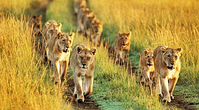 10 Interesting Facts You Probably Didn't Know About Lions